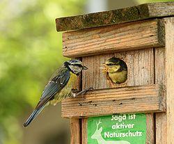 http://upload.wikimedia.org/wikipedia/commons/thumb/7/72/Parus_caeruleus_feeding.jpg/250px-Parus_caeruleus_feeding.jpg