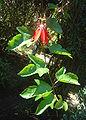 Passiflora vitifolia dsc03655.jpg