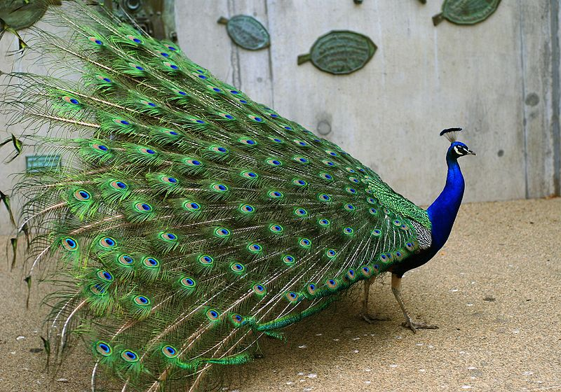 File:Pavo cristatus (male) -feathers-8a.jpg