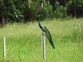 Peacock-3-kilinochchi road-Sri Lanka.jpg