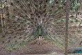 Peacock Bird from indonesia.jpg
