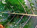 Peepal Leaf in Nepal.jpg