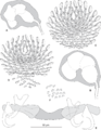PeerJ 2233 - Pseudorhabdosynochus sulamericanus - fig-6.png