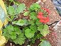 Pelargonium x hortorum-1-halgranoya-Sri Lanka.jpg