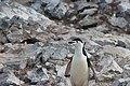 Penguin by the rocks (Unsplash).jpg