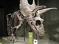 Pentaceratops from the late Cretaceous.jpg