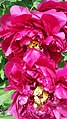 Peony material 4th in Peony Educational Series.jpg