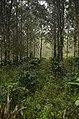 Pepper plantation Kolli hills JEG3038.jpg