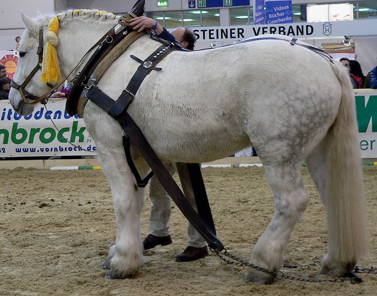 File percheron 1 stehend wikimedia commons for Cuanto cuesta un caballo