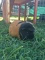 Pet Guinea Pig.jpg