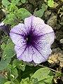 Petunia10.jpg