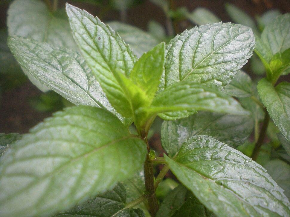 Pfefferminze natur peppermint