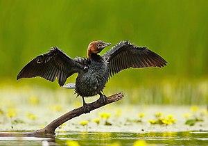Pygmy cormorant - Image: Phalacrocorax pygmeus 1 (Martin Mecnarowski)