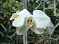 Phalaenopsis var. (2).jpg