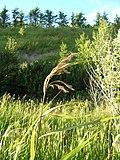 Phragmites australis 3 (5097360179).jpg