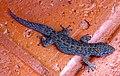 Phyllodactylus tuberculosus 4699627.jpg