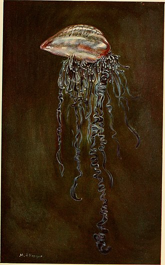 Cystonectae - Illustration of a Portuguese man o' war (Physalia physalis)