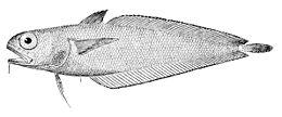 Physiculus fulvus