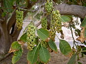 Phytolacca dioica Fruits.jpg