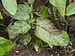 75px phytophthora infestans potato %27dor%c3%a9%27, aardappelziekte dor%c3%a9
