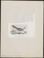 Picathartes gymnocephalus - 1872 - Print - Iconographia Zoologica - Special Collections University of Amsterdam - UBA01 IZ15700277.tif