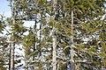 Picea abies (454263076).jpg