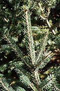 Picea likiangensis - Jardim Botânico de Quarryhill - DSC03422.JPG