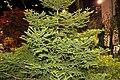 Picea orientalis 'Gracilis'.JPG
