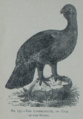 Picture Natural History - No 157 - The Capercaillie or Cock of the Woods.png