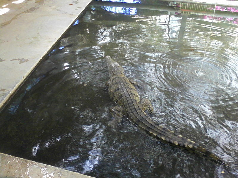תנין מתפרע  בבריכה