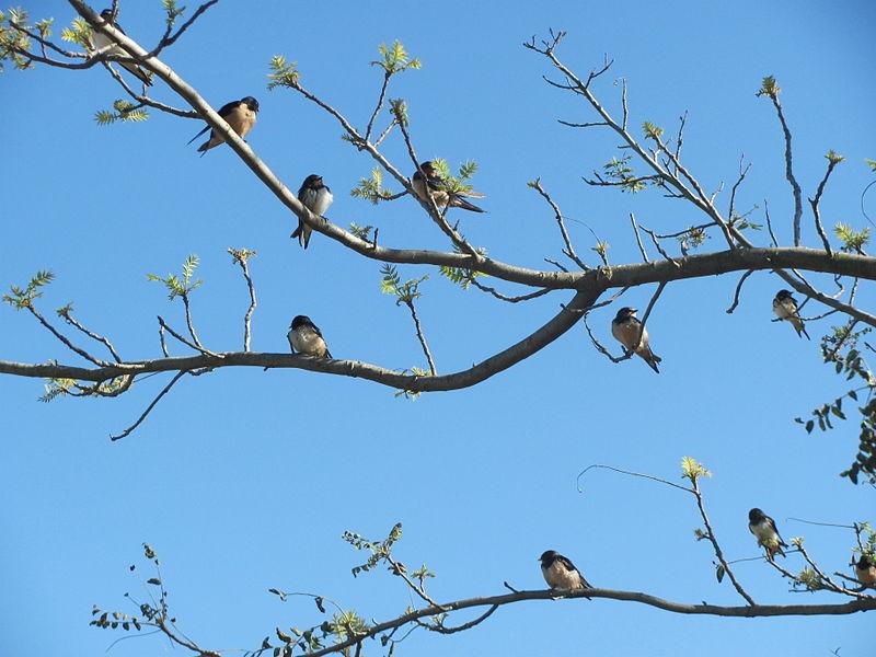 שירת הציפורים