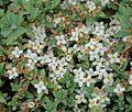 Pimelea prostrata flowers.JPG