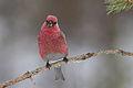 Pine Grosbeak (Pinicola enucleator) (13667523155).jpg
