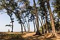 Pine trees on the coast of Maharashtra.jpg