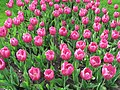 Pink tulips at the Spring Flower Ball.jpg