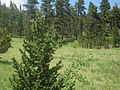 Pinus aristata, Pikes Peak, Colorado 1.jpg