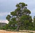 Pinus halepensis2.jpg