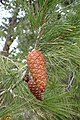 Pinus halepensis kz16 (Morocco).jpg