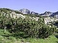 Pinus mugo Pirin 1.jpg