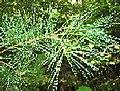 Pinus strobus 1-eheep (5098107762).jpg