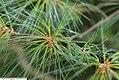 Pinus strobus 25zz.jpg