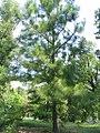 Pinus taeda 9zz.jpg