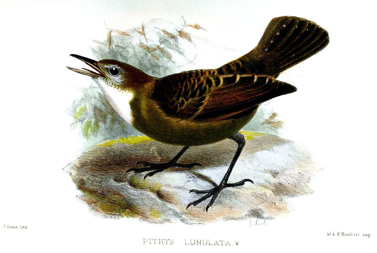 Zeledon's Antbird - eBird
