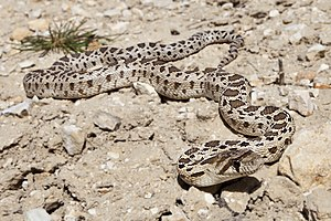 Pacific gopher snake - Image: Pituophis catenifer catenifer (Carrizo Plain)
