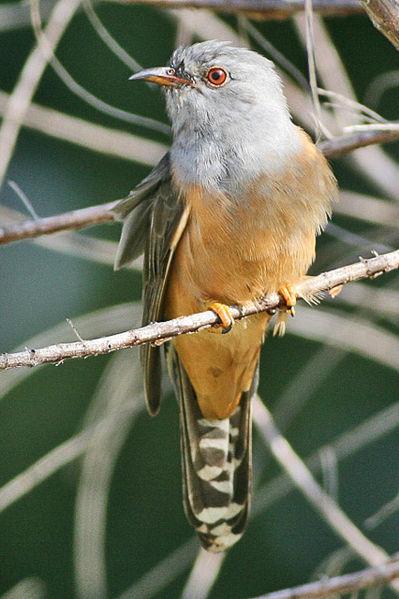 File:Plaintive Cuckoo Cacomantis merulinus - Cropped.jpg