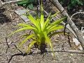 Planta parásita.JPG