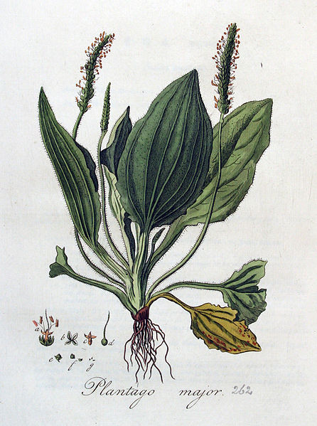 Archivo:Plantago major — Flora Batava — Volume v4.jpg