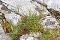 Plantago maritima plant (35).jpg