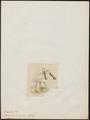 Platalea tenuirostris - 1820-1863 - Print - Iconographia Zoologica - Special Collections University of Amsterdam - UBA01 IZ17600085.tif