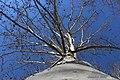 Platanus tree without leaves.jpg